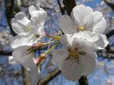 越乃彼岸桜