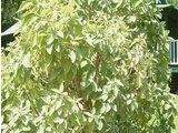 Nototrichium sandwicense