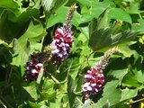 Pueraria montana lobata