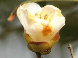 Camellia Komomiji