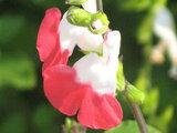 "Salvia microphylla ""Hot Lips"""