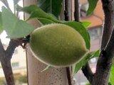 Prunus persica 'Fastigiata'