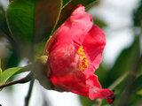 Camellia Chosen-tsubaki