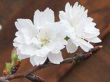 儿童福樱花