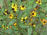 三裂叶金光菊