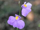 ウトリクラリア ロンギフォリア