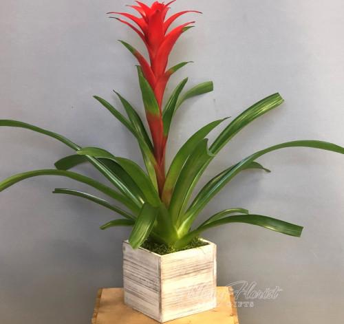Tropical Bromeliad Plant