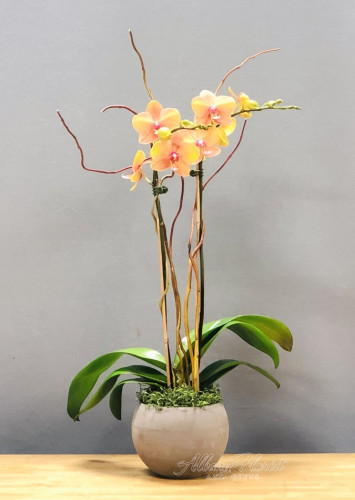 Magnificent Phalaenopsis Orchid