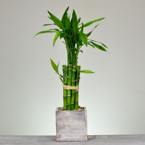 Lucky Bamboo Plant Albany Florist And Gifts