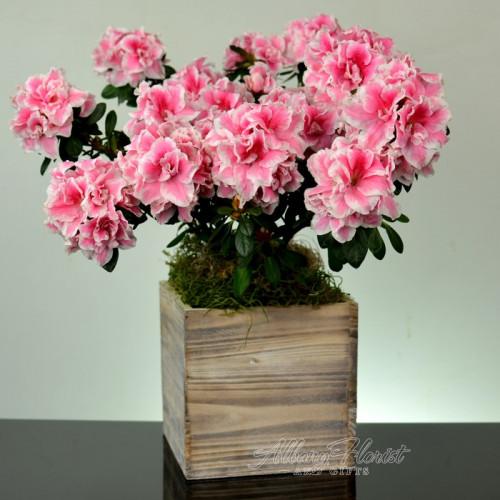 Perfect Azalea Plant