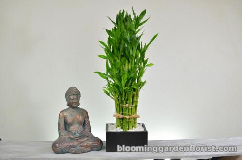 Lucky Bamboo for Good Feng Shui - P34