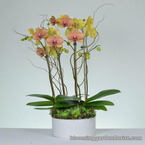 Golden Butterflies - Orchid Garden P12