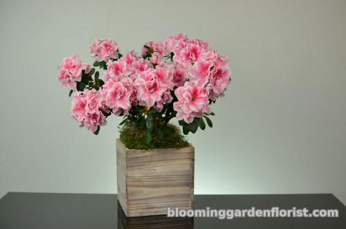 Pink Perfect Azalea - P9