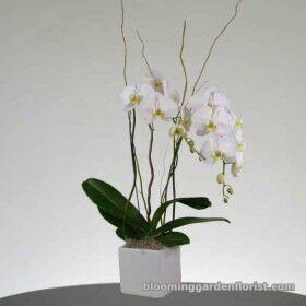 Elegant White Orchid Plant - p25
