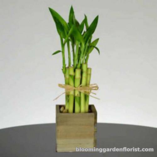 Lucky Bamboo P10