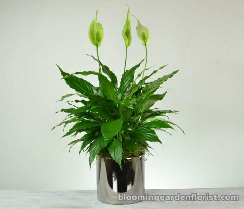Elegant Peace Lily Plant - P8