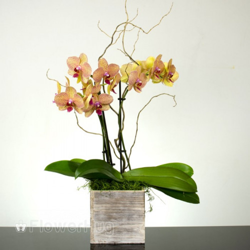 Butterfly Orchid Plant - P24