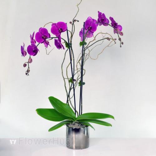 Purple Phalaenopsis Orchid Plant - p26