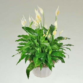 Stunning peace lily plant - p15