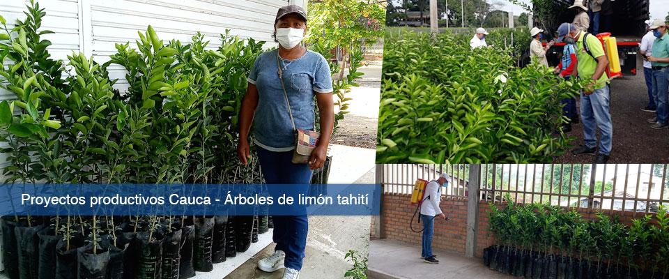 Fondo Adaptación: Limón Tahití para proyectos productivos de familias cultivadoras del Cauca