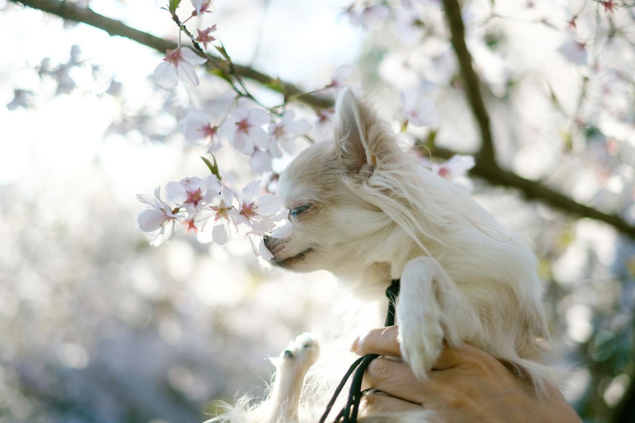 大分県 枝垂れ桜の里