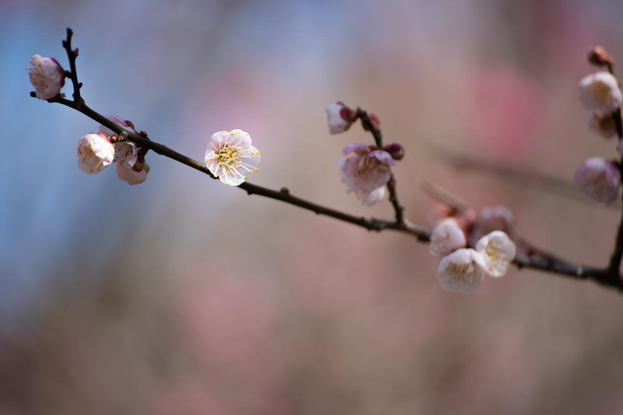 愛媛県 七折梅園