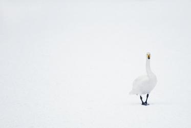 Wilde zwaan in de sneeuw