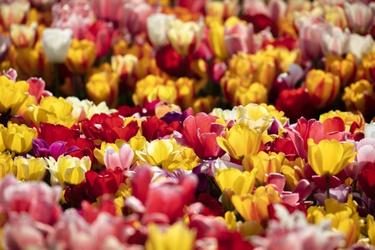 Kleurrijke tulpen