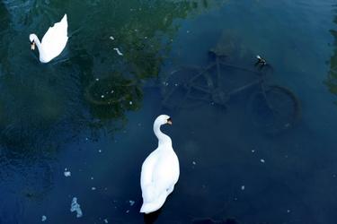 Zwanen in een rivier