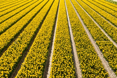 Gele tulpenvelden in bloei