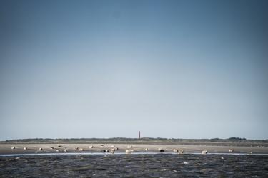 Zeehonden op de Waddenzee