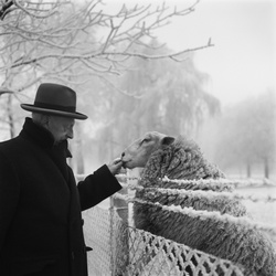 Man voert schaap op een winterdag