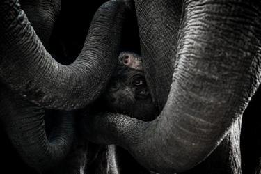 Pasgeboren olifant in Mierlo