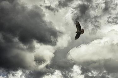 Buizerd vliegt boven Landgoed Hilverbeek