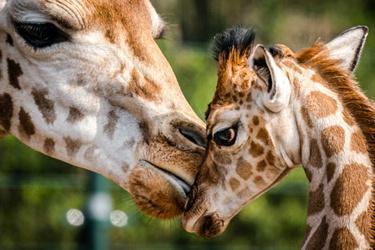 Pasgeboren giraffe