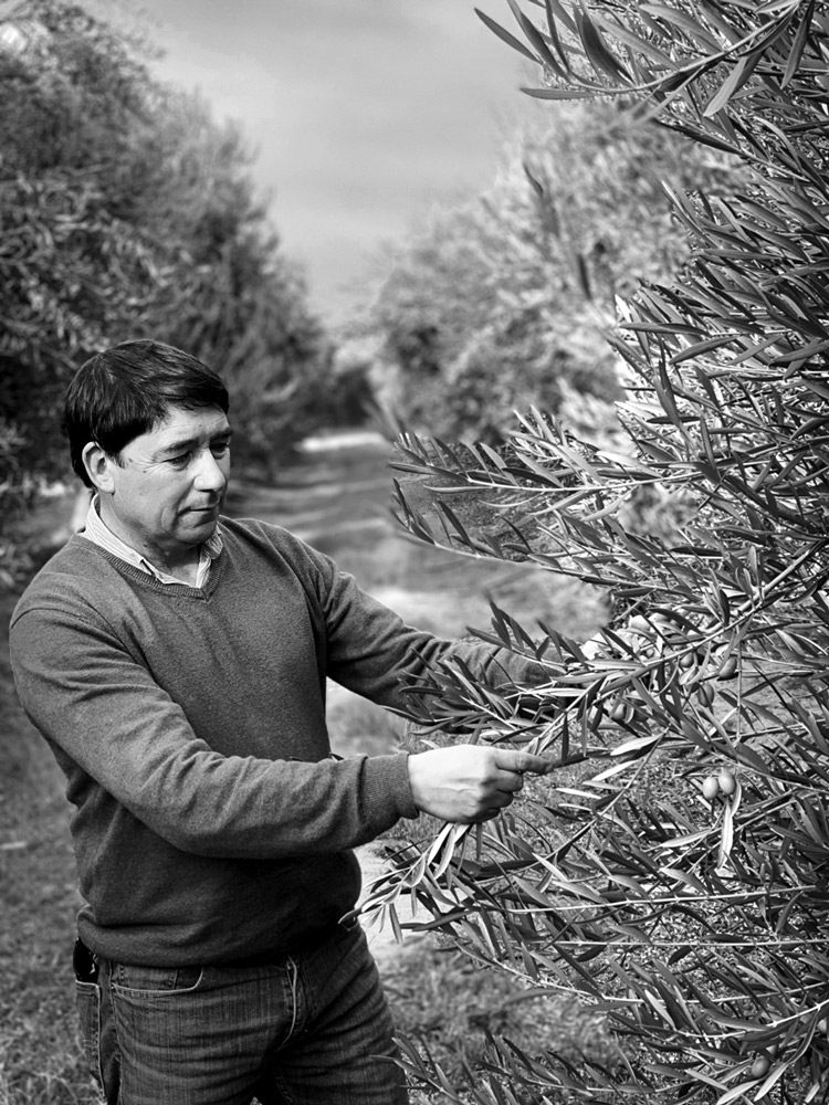 Juan Carlos Pérez inspecting olive trees in Chile