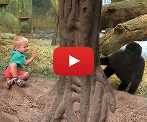 Toddler and Gorilla Play Peek-A-Boo