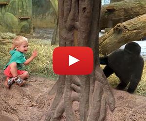 Toddler and Gorilla Play Peek-A-Boo