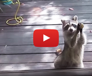 Rocksy The Raccoon Knocks at the Door For Food