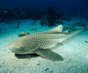 Zebra Shark Has Baby Without Mating