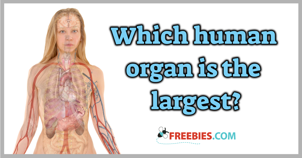 Trivia What Is The Largest Human Organ