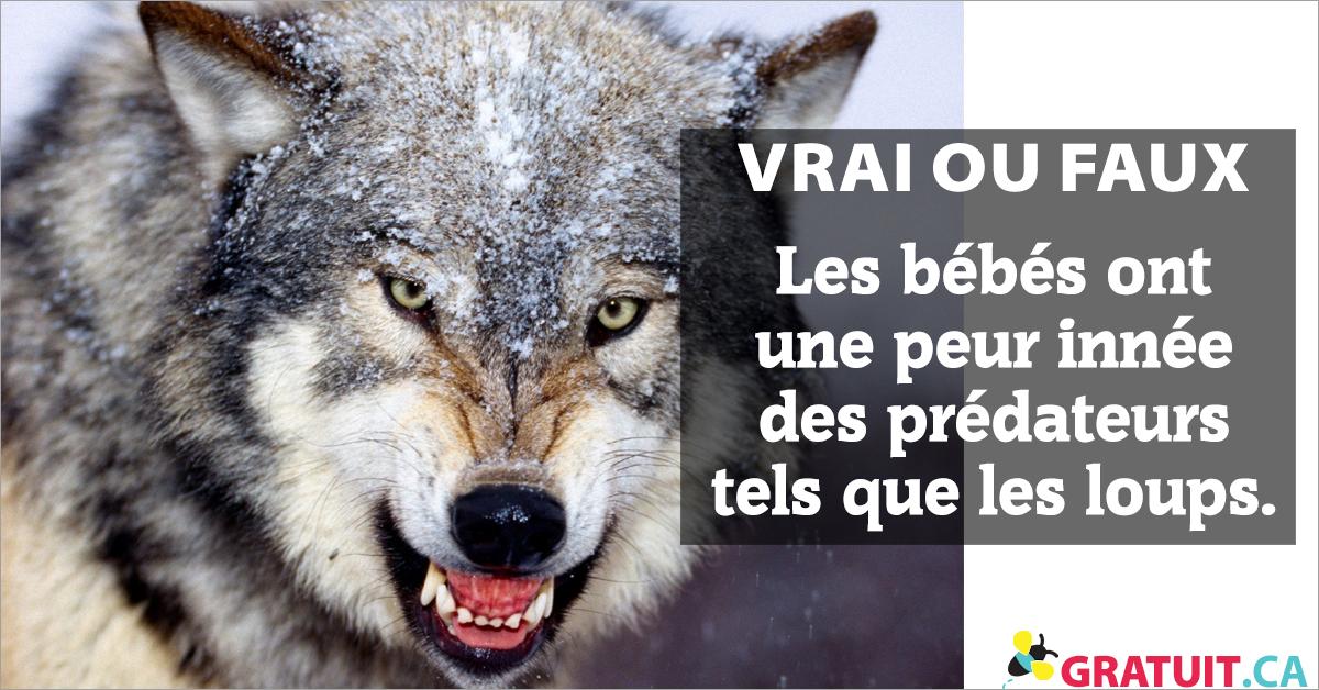 Vrai ou faux : Les bébés ont une peur innée des prédateurs tels que les loups.
