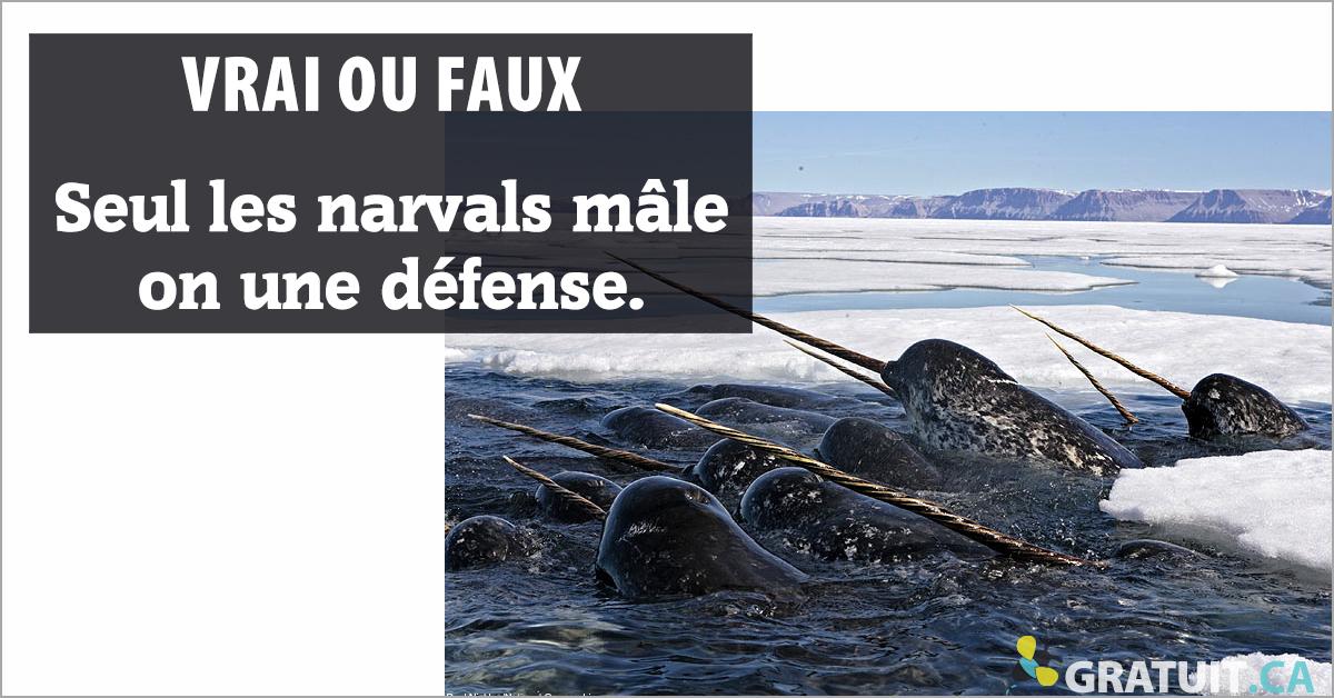 Vrai ou faux : Seul les narvals mâle on une défense.