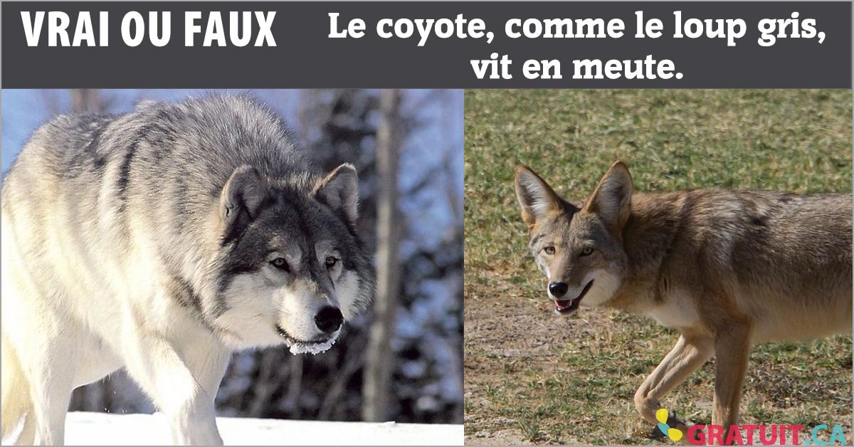 Vrai ou faux : Le coyote, comme le loup gris, vit en meute.