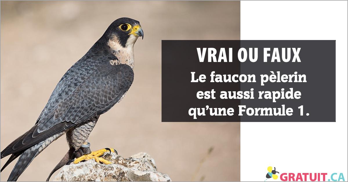 Le faucon pèlerin est aussi rapide qu'une Formule 1.