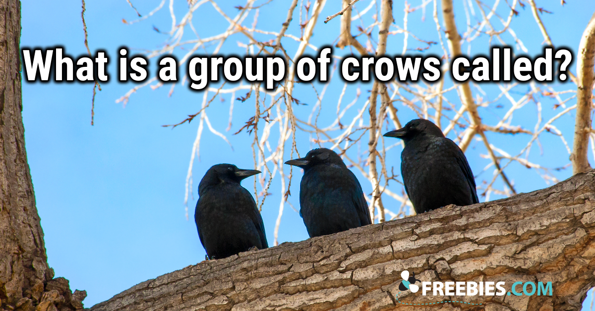 TRIVIA: What is a group of crows called?