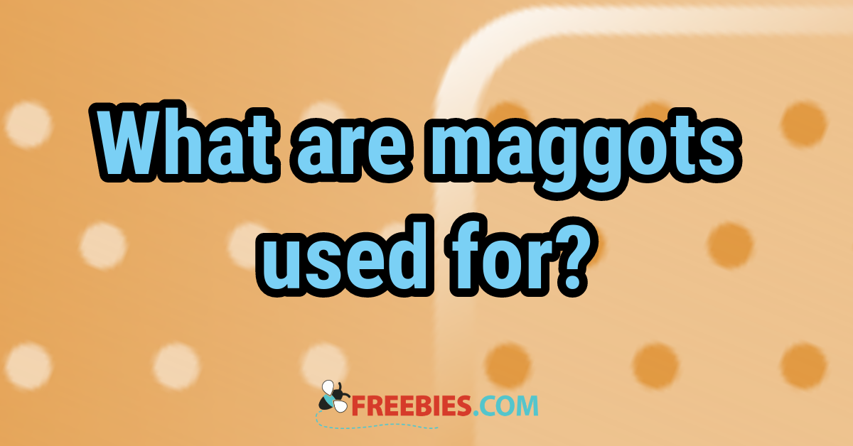 TRIVIA: What are maggots used for?