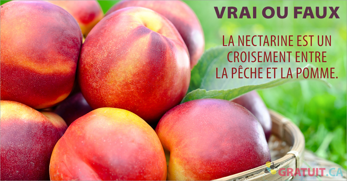 Vrai ou faux : la nectarine est un croisement entre la pêche et la pomme.