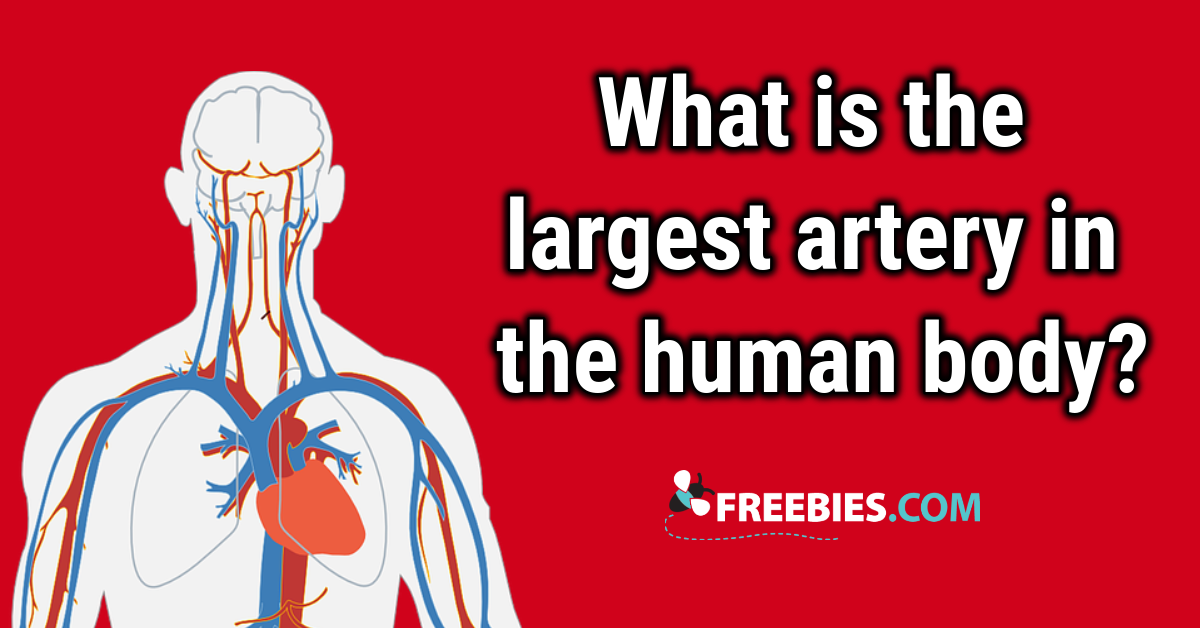 TRIVIA: What is the largest artery?