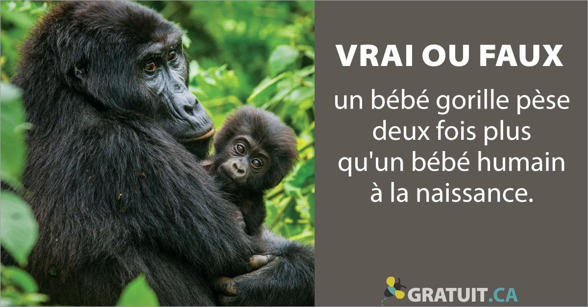 Vrai ou faux : un bébé gorille pèse deux fois plus qu'un bébé humain à la naissance.